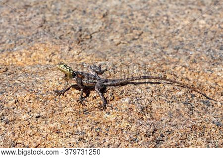 Namib Rock Agama, Agama Planiceps, Is Heating Up In The Sun In The White Lady Brandberg Mountains, N