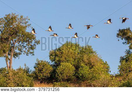 Flying Flock Of Bird Egyptian Goose, Chobe River, Botswana Africa Wildlife