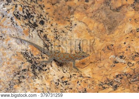 Small Night Gecko In Natural Habitat Namib Desert, Stenodactylus Petrii. Brandberg Mountain, Namibia