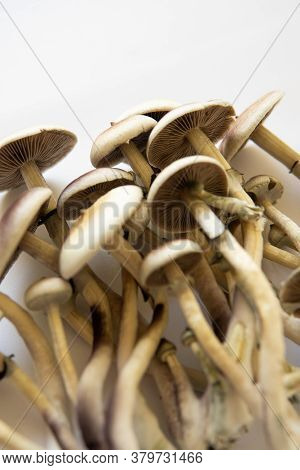 White Background. Psilocybin Cubensis Mushroom. Fresh Psilocybin Shroom. Hallucinogenic Psychedelic
