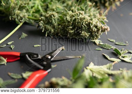 Growers Trim Their Pot Buds Before Drying. Growers Trim Cannabis Buds. The Sugar Leaves On Buds. Tri