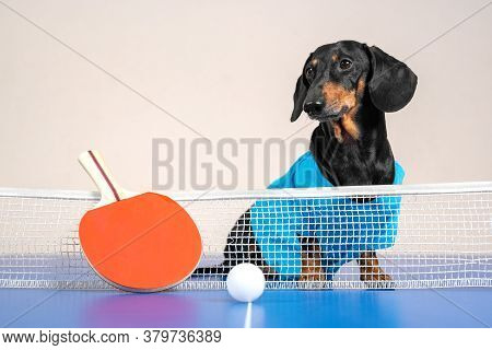 Cute Active Dachshund Dog In Blue T-shirt Sits On Ping-pong Table, Special Small Racket And Lightwei