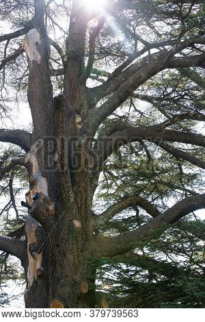 A Huge Lebanon Cedar. Massive Ancient Trunk, Bark And Branches. Silhouette Of A Tree In Sunlight. Th