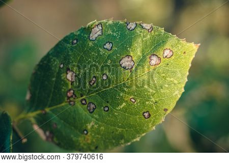 Disease Damaged Leaf Of Rose With White Spots Bordered With Dark Color