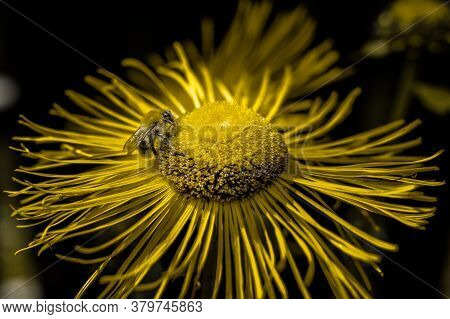 A Large Bee Collects Nectar On A Beautiful Yellow Flower With Thin Petals.