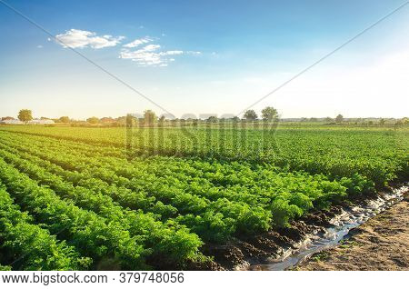 Watering Plantation Landscape Of Green Carrot Bushes. European Organic Farming. Growing Food On The