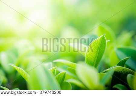 Closeup Beautiful View Of Nature Green Leaves On Blurred Greenery Tree Background With Sunlight In P