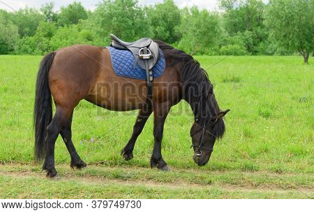 The Saddled Bay Horse Is Eating The Grass In Outdoors.
