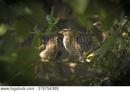 An Adult Female House Sparrow (passer Domesticus) Feeding A Youngster In A Tree