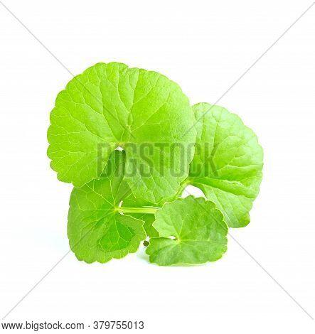 Green Leaves Of Centella Asiatica, Asiatic Pennywort,(centella Asiatica (linn.) Tropical Herb Isolat