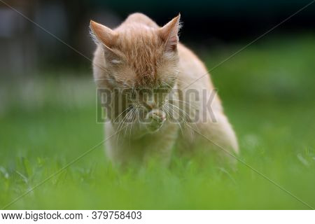 A Cute Ginger Read Head Cat With Rich White Whiskers Washing And Licking Her Paws On The Green Grass