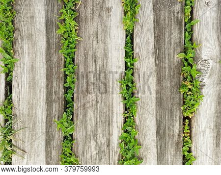 Wooden Walkway Made Of Boards With Green Leaves Between Them. Close Up Wooden Footpath With Grass. D