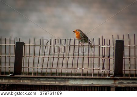 European Robin (erithacus Rubecula) With Food Perched On A Metal Fence