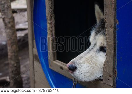 The Dogs Face Looks Out Of The Booth. Sad Look Of A Husky Dog. Close-up Of A Dogs Face.