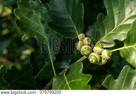 Oak Branch With Green Leaves And Acorns On A Sunny Day. Oak Tree In Summer. Green Acorn And Leaves O