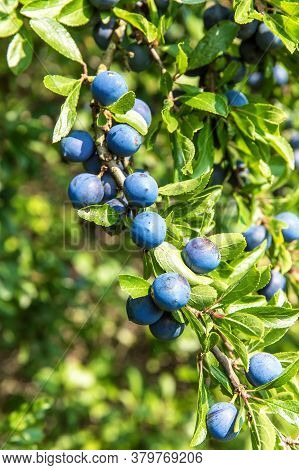 Prunus Spinosa (blackthorn, Or Sloe). The Fruits Of Blackthorn (prunus Spinosa). Blackthorn Bush Wit
