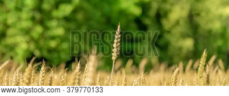 Yellow Wheat Field And Green Forest. Close-up Of One Ear Above All The Others. The Concept Of Strivi