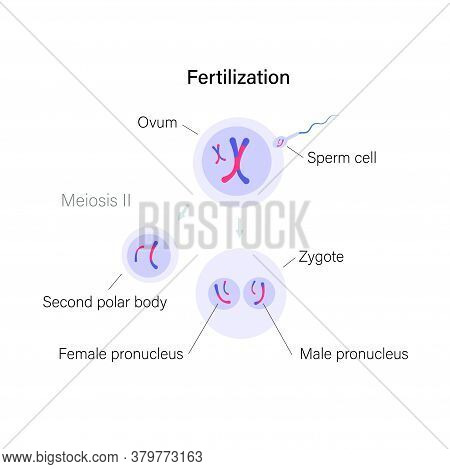 Fertilization And Cell Division. Ovum And Zygote Illustration. Dna Replication And Human Reproductiv