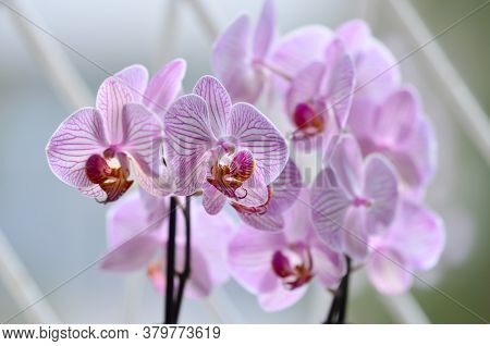 White And Vivid Pink Phalaenopsis Orchid Flowers In Full Bloom By The Window In A Sunny Summer Day