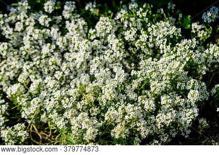 Many White Flowers Of Lobularia Maritima, Commonly Known As Sweet Alyssum Or Sweet Alison, In A Gard