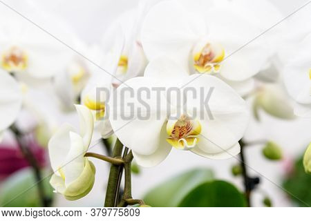 Close Up Of Many Delicate White Phalaenopsis Orchid Flowers In Full Bloom In A Garden Pot By The Win