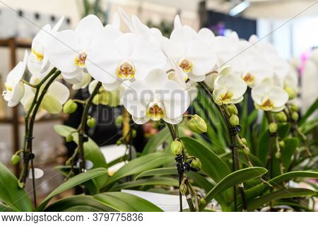 White Phalaenopsis Orchid Flowers In Full Bloom In A Garden Pot By The Window In A Sunny Summer Day