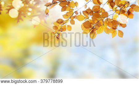 Fresh Yellow Autumn Tree Foliage On Pale Cloudy Sky Background