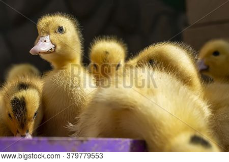 A Group Of Ducklings. Cute Beautiful Yellow Ducklings Drink Water, Eat Grain And Walk Outdoors. Youn
