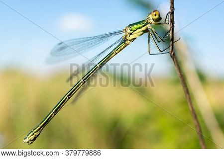 Dragonfly Sitting On A Dry Stick, Wildlife. A Thin Blue Dragonfly Sits On A Narrow Leaf Of Grass. Ou