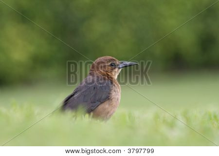 Brown Bird In Grass