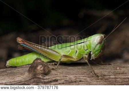 Photo Showing Lateral View Of Green Grasshopper (hieroglyphus Banian)