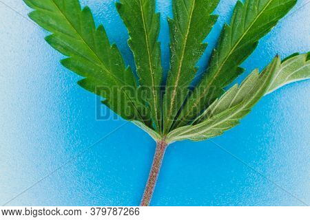 Hemp Leaf Macro On Light Blue Background