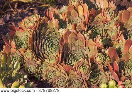 Stone Rose Molodilo And Sedum - Succulent Plants Of The Family Crassulaceae.
