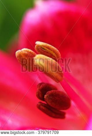 Macro Shot Of A Pistil Of A Red Flower.