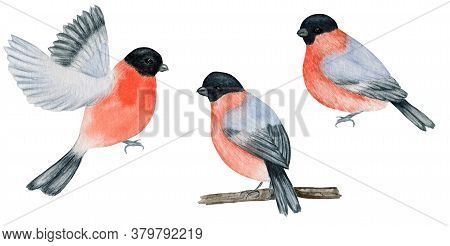 Watercolor Bullfinch Christmas Bird Set. Hand Painted Illustration Isolated On White Background. Win