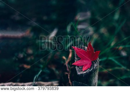 Red Little Autumn Maple Leave Over Old Grey Wooden Stub Background.