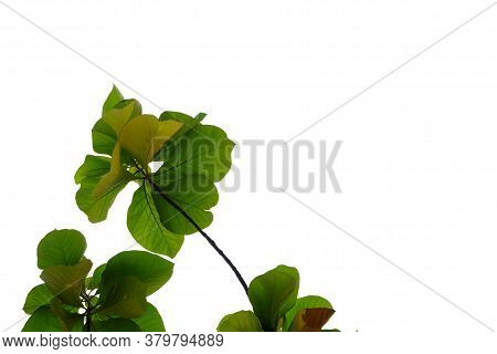 Golden Teak Tree Leaves With Branches On White Isolated Background For Green Foliage Backdrop And Co