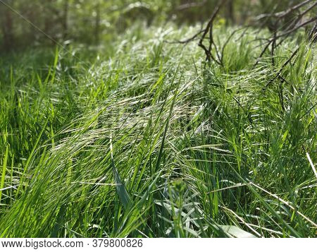 Tall Green Grass Bending In The Wind. Black Broken Tree Branches In The Background. Summer Forest. E