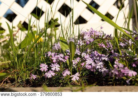 Close-up Of Flowers Phlox Subulata On A Lawn Near A White Plastic Fence In A Typical Cottage Village