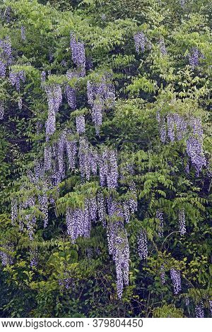 Wisteria (wisteria Villosa). Called Chinese Wisteria Also. Another Scientific Name Is Wisteria Chine
