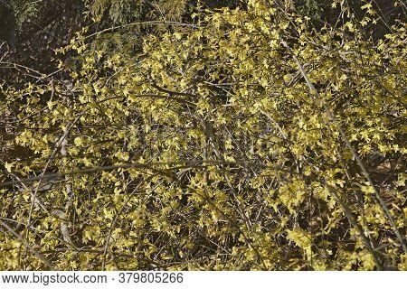 Winter Jasmine Shrub (jasminum Nudiflorum) In Blossom