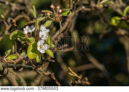 Pear Tree Flowers With Sunlight In Spring Pyrus