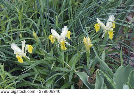 Group Of Corn-leaved Juno Iris (iris Bucharica)