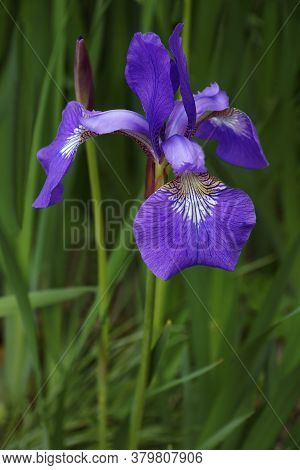 Close-up Image Of Siberian Iris Flower