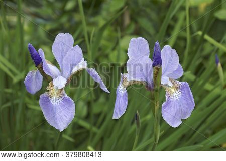 Close-uo Image Of Siberian Iris Flowers (iris Sibirica)