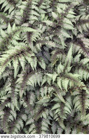 Close-up Image Of Ghost Fern