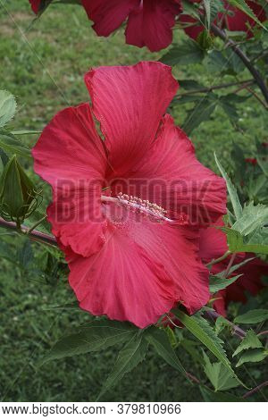 Close-up Image Of Lord Baltimore Hardy Hibiscus Flower