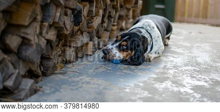 Basset Hound Playing With Ball By Firewood