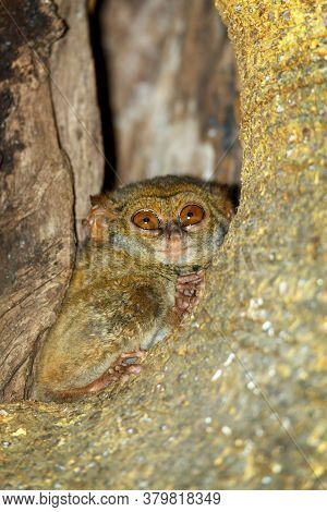 Very Rare And Endemic Spectral Tarsier, Tarsius Spectrum,tangkoko National Park, Sulawesi, The World