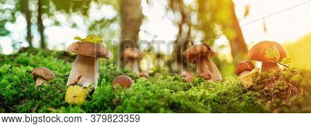 Whild Mushrooms Outdoors In The Forest In Autumn